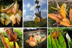 la gentiane : les couleurs de l'automne