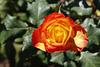 1T0A2535- Parnell rose garden