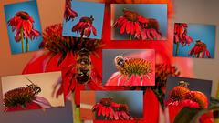 Collage mit Echinacea