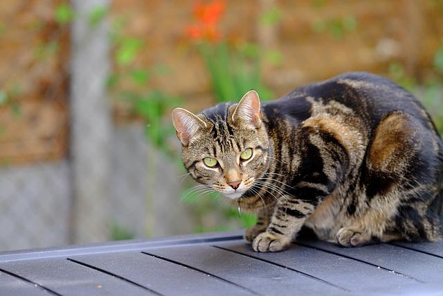 Barnack the cat Fuji 90mm 1