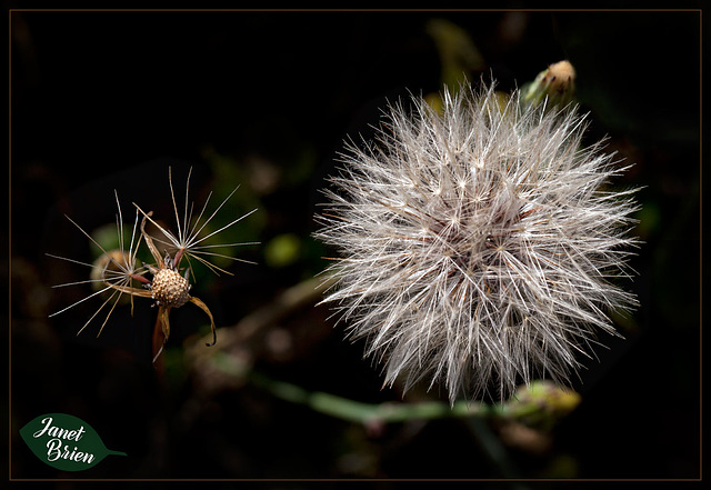 133/366: Details of a Dandilion Seed Head