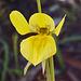 Diuris behrii (Golden Cowslips)