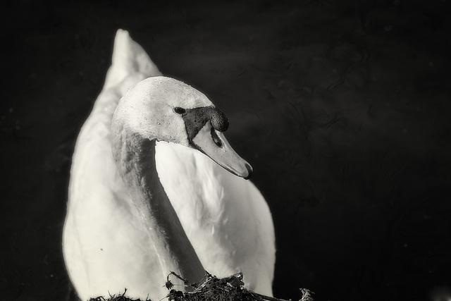 b/w swan