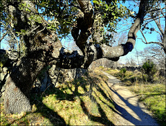 A favourite oak tree near the Roman Road, Zarzalejo.