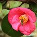 è una sirfide o una vespa ?