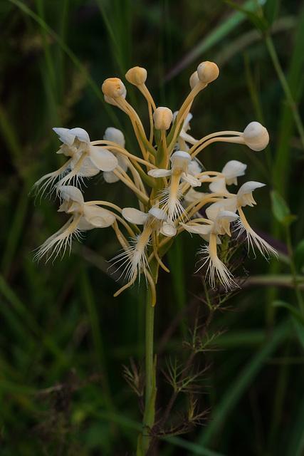 Platanthera Xlueri (P. conspicua x P. ciliaris) natural hybrid orchid