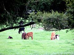 Calves Grazing.