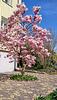 junger Magnolienbaum