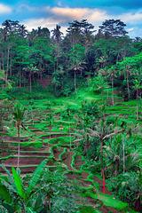 Rice terrace of Ceking