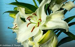White Oriental Santander Lily-001