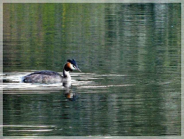 Grèbe huppé à la réserve naturelle de Romelaere (62)