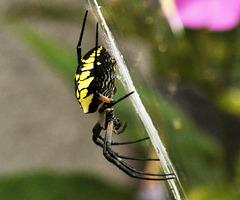Home garden-argiope-aurantia-DSC 6847