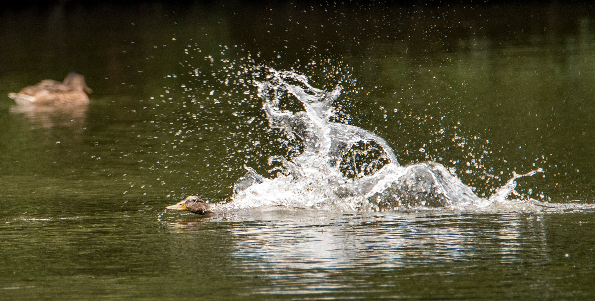 Mallard splashdown