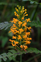 Platanthera cristata (Crested Fringed orchid)