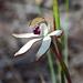 Caladenia cucullata