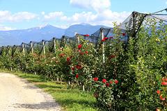 Äpfel und Rosen - bei Graun/Kurtatsch (PIP)