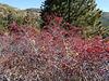Oregon cherry