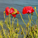 Poppies by the Black sea