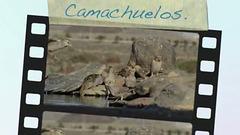 Camachuelos 2