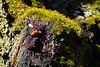 Ein Kirschbaum blutet - A cherry tree bleeding