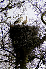 Trunk, branches, twigs and 2 Storks on their nest...