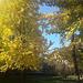 Il bellissimo albero Ginkgo biloba (o albero della vita)nel Parco Pasolini