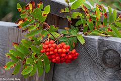 Vogelbeeren - Rowan Berries