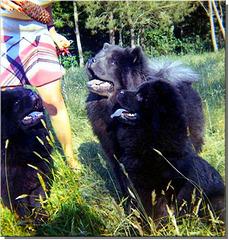 U'bien U'siaree et Vickiu dans le parc du Burck en 1971.... Qu'en dites-vous? Trois chow-chows en même temps, à quoi l'on se résout par amour!!!