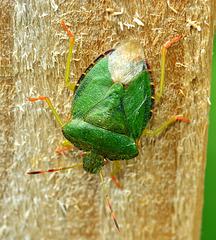 Green Shieldbug. Palomena prasina