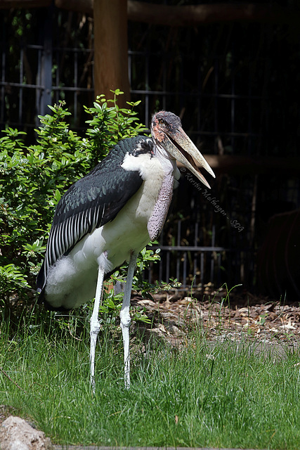 Marabu (Wilhelma)