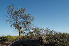 Acacia retinodes, Mimosa