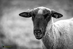 Ein tadelloses Mitglied einer Schafherde