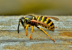 Wasp at work! Vespula vulgaris