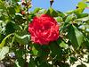 Rose d'hier