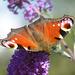 Tagpfauenauge und Schmetterlingsflieder
