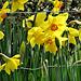 Yellow Spring Beauties.