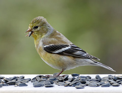 Day 10, American Goldfinch female, Tadoussac