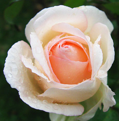 White and Peach Rose Closeup