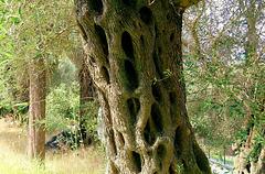 Olive tree trunk wisdom