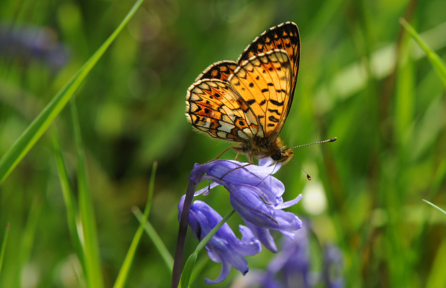 Small Pearl-bordered Fritillary on bluebell I