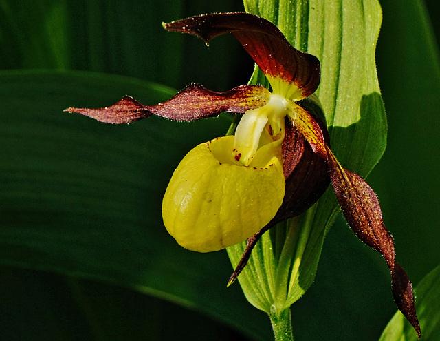 Ein Sonntagsgruß - Sunday Greetings - Lady Slipper Orchid
