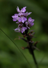 Common Spotted Orchid / Fuchs'sches Knabenkraut
