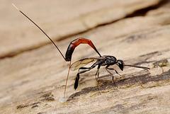 Ichneumon Wasp Ovipositing