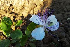 Kapern-Blüte
