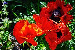Mitten in Berlin: Riesenmohn - Oriental poppy