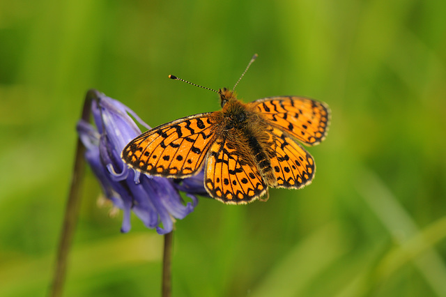 Small Pearl-bordered Fritillary on bluebell II