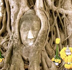 Bouddha étranglé par un ficus