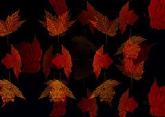 33/50 maple leaf, feuille d'érable