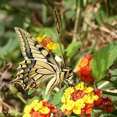 Atterrissage d'un beau sujet...... sur fleurs de Lantanas