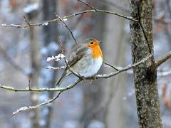 Rotkehlchen und erster Schnee
